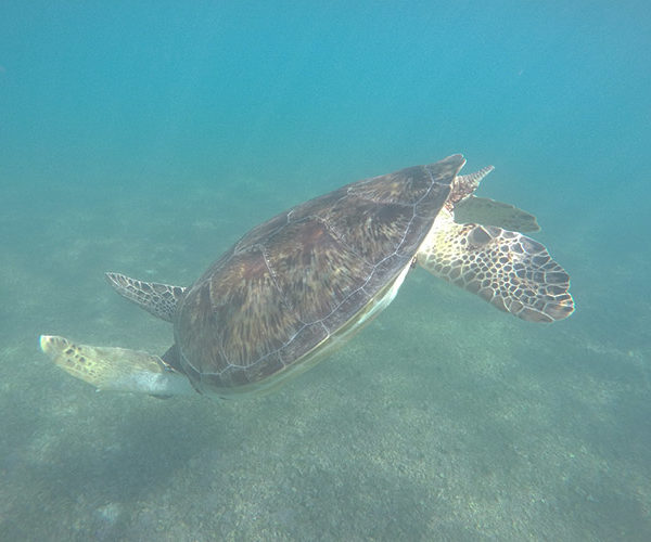 Snorkeling with green sea turtles in Akumal Mexico